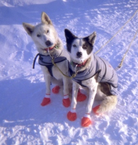 Lolo (left) and Pig taking a snack break just 20 miles from the 2004 Iditarod finish line