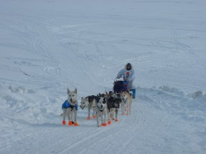 Lolo (left) and Pig lead us off of Norton Sound onto the main street of Nome, Alaska. 2004