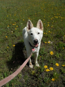 Lolo, my once-Iditarod-lead-dog, now slinks  along close behind me as my white shadow.
