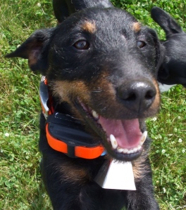 Our model German Jagd Terrier, Jigs, is feeling quite sporty, wearing a blaze orange collar accessorized with a receiver by Tritronics and a silver cow bell.